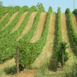 Monitoring of grape ripening in mountain and foothill areas