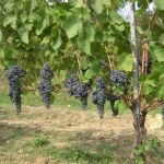 Varietal innovation for a modern and competitive vineyard management